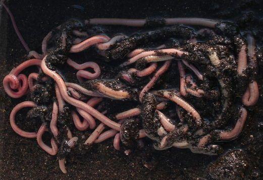 Come conservare l arenicola
