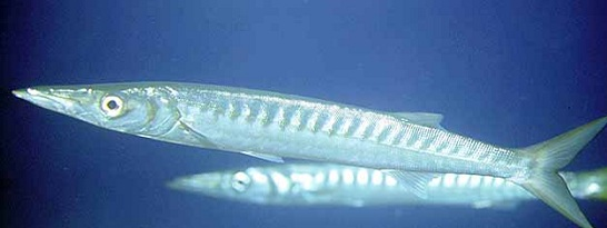 Barracuda mediterraneo