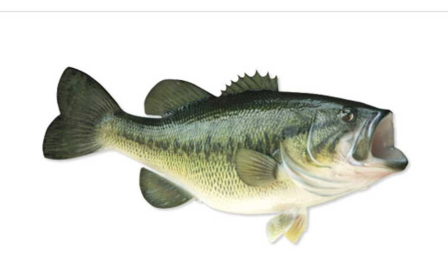 black bass o persico trota