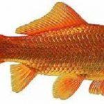 carassio dorato o pesce rosso
