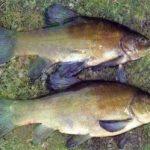dove pescare la tinca