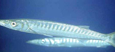 Cosa mangia il barracuda