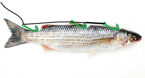 innescare il cefalo vivo per pesce serra.