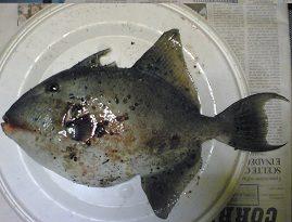 Pesce balestra o pesce porco
