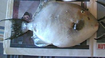 Pesca al pesce balestra o pesce porco