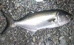 Pesca al pesce serra