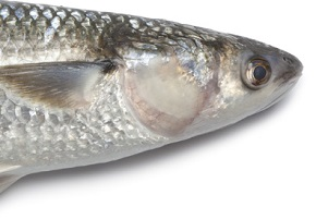 Saldi 2019 garanzia di alta qualità prezzo basso cefalo a fondo in fiume foce mare porti lagune salmastre ...