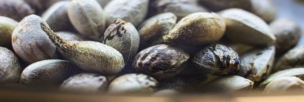 preparare i semi di canapa